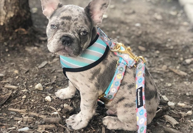 3 Tips for Acquiring a French bulldog Puppy